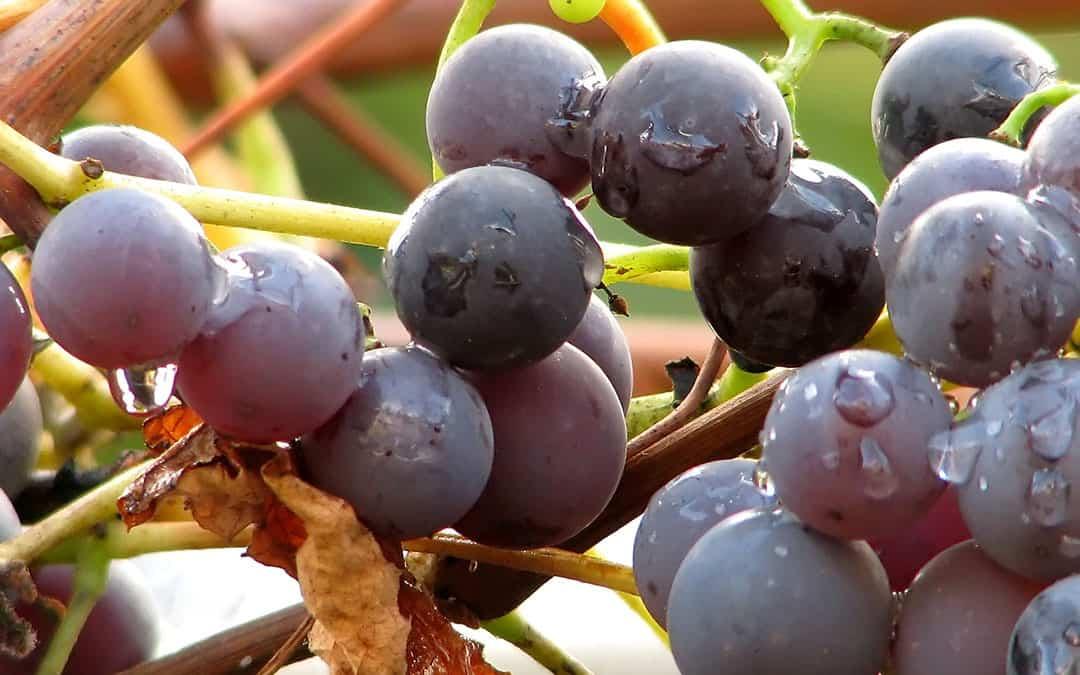 pn grapes