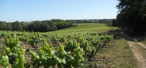 Muscadet_vineyard_web