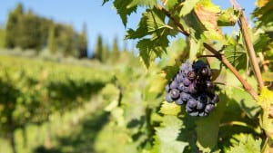 Sangiovese Grapes