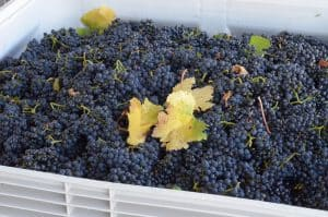 Pinot Noir grapes ready for pressing!