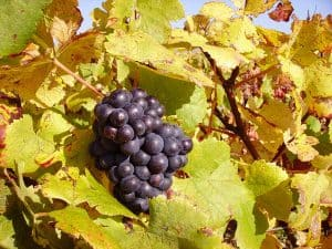 Mature Pinot Noir grapes