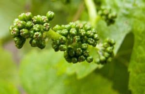 Young Pinot Noir Grapes